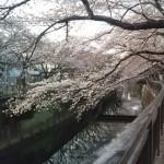 桜がきれいですね【ティファニー】