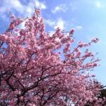 一足遅い桜情報