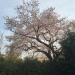 【桜】何かとかかります。。【買取り】